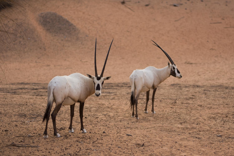 al-maha-dubai-desert-resort-conservation-reserve