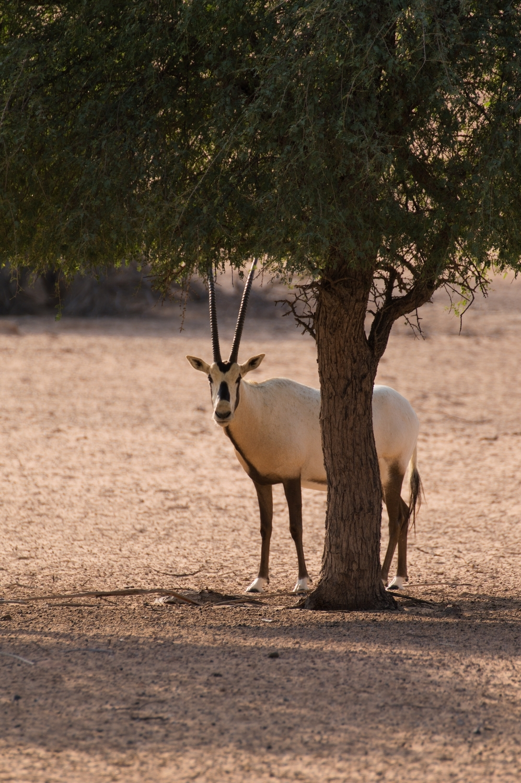 al-maha-dubai-desert-resort-conservation.reserve1